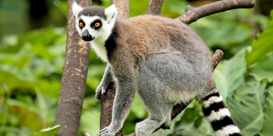 Z wizytą u lemurów