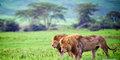Safaris rojuje #3